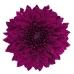 Pip Purple