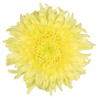 Magnum Yellow